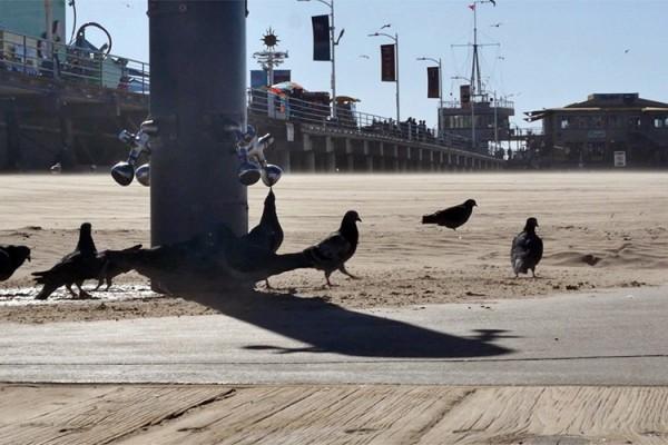 Santa Monica Pier oiseaux copie