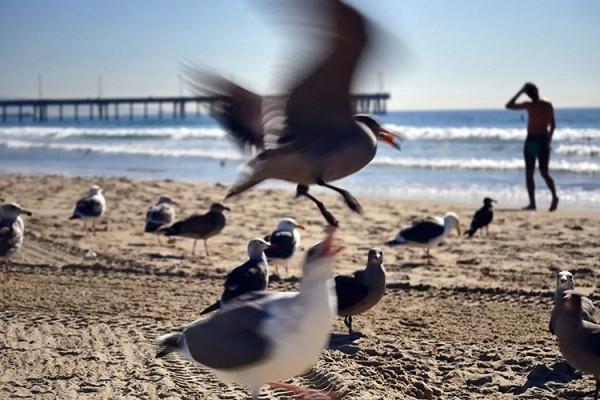 oiseaux LA Venice Beach