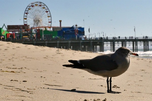 Santa Monica Pier mouette 2 copie