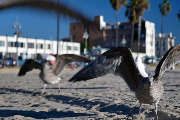 Venice Beach boardwalk mouettes