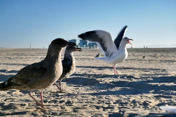 Venice Beach mouettes